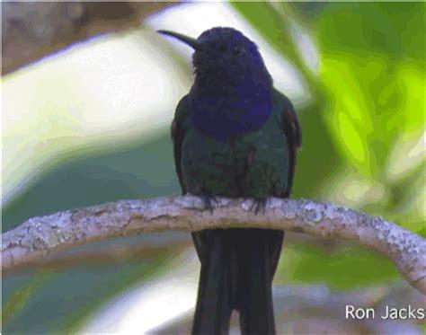 because birds swallow tailed hummingbird this bird