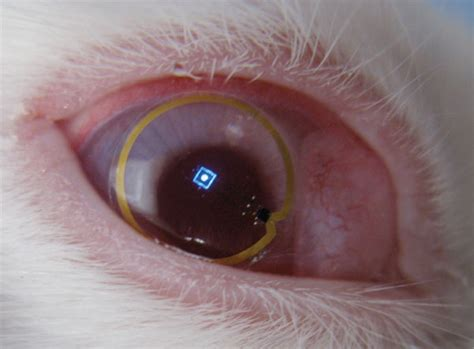 are bunnies color blind electronic lens fitted on rabbit eye help the blind
