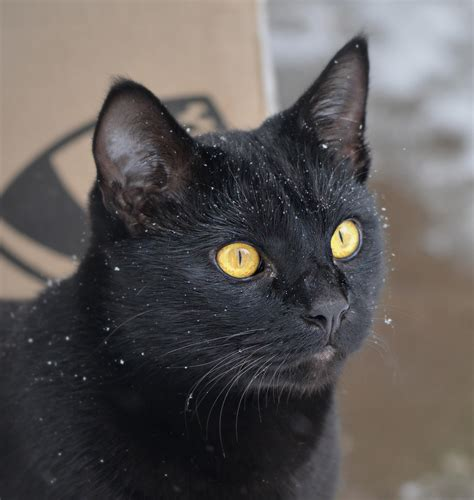 Boneka Hewan Kucing Siam Jumbo foto kucing hitam lucu
