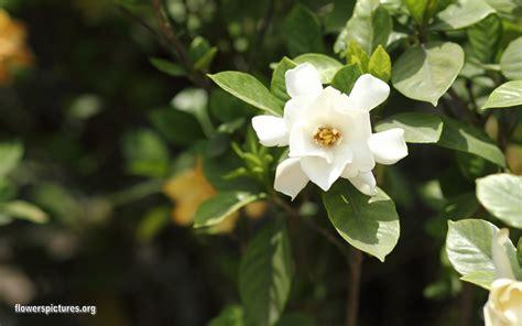 gardenia flowers gardenia jasminoides gardenia cape jasmine