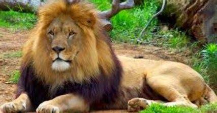 Singa Si Raja Rimba fisik dan karakteristik binatang singa ragam dunia hewan