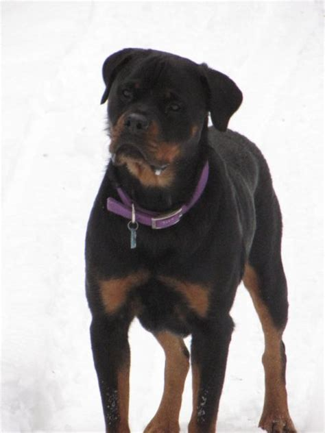 different colored rottweilers rottweiler articles eye color placement and shape rottweiler information west coast