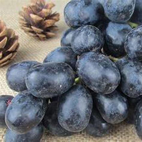 Bulk Garden Seeds by 20x Grape Seeds Vitis Vinifera Delicious Fresh Fruit