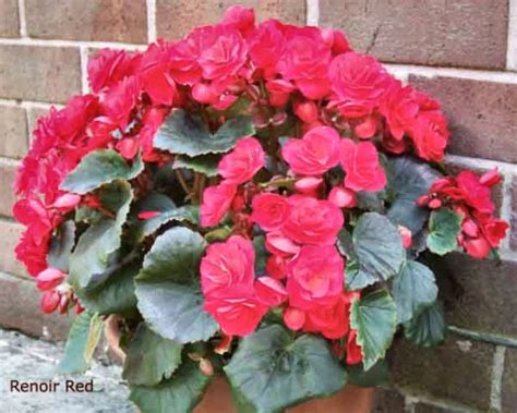 new begonias for 2009