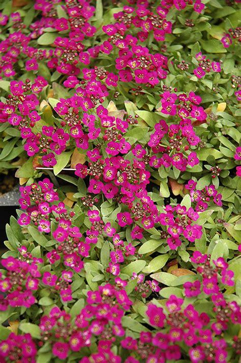 easter bonnet violet alyssum lobularia maritima easter
