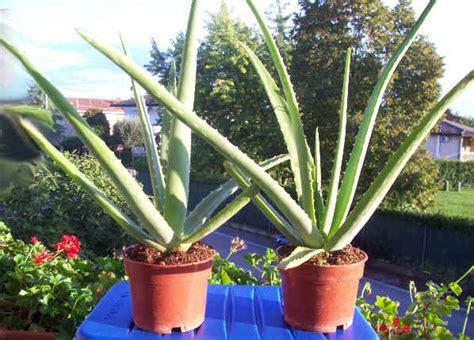 aloe vera in vaso piantina di aloe vera in vaso pianta della salute vaso