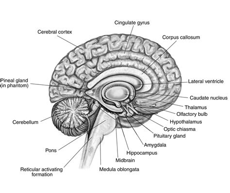cross section of the human brain the brain labeled new calendar template site