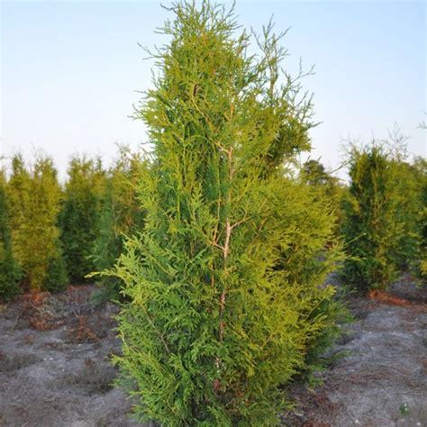 thuja occidentalis brabant thuja occidentalis brabant 80 100 cm coniferen winkel