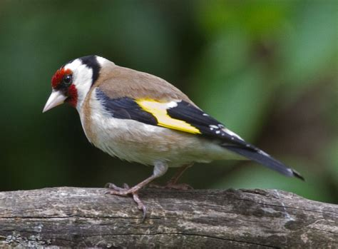 goldfinch simple english wikipedia the free encyclopedia