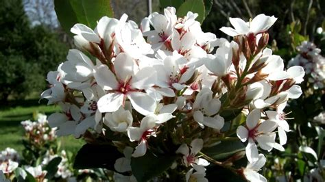 flowers and shrubs cosmic white raphiolepis is a shrub with clean foliage