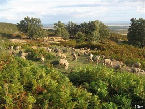 imagenes de verdes praderas reba 241 os de ovejas en verdes praderas el raso