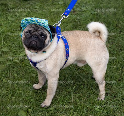 pug with blue pug with a cap and blue collar stock photo 169 big tau 5590320