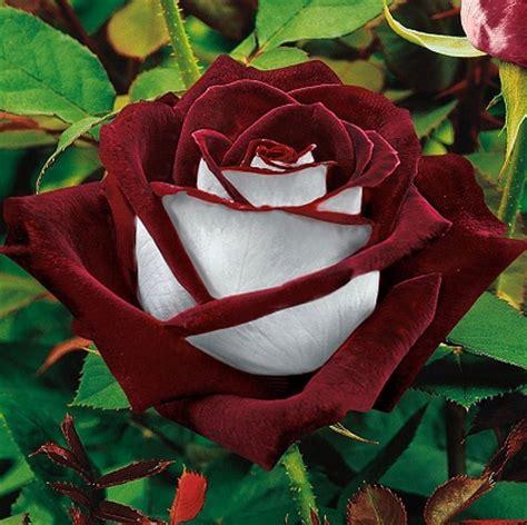 imagenes rosas gratis para descargar imagenes de rosas gratis para descargar y compartir