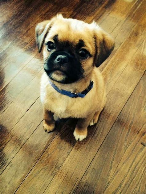 shih tzu or pug sweetest pug shih tzu mix my baby boots