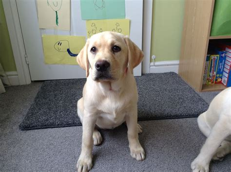 12 week puppy 12 week labrador puppy for sale neath neath port talbot pets4homes