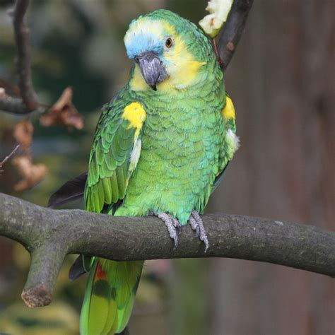 blue fronted amazon housing care behavior as pet