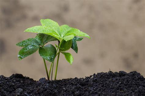 elleboro fiore coltivare elleboro guida per principianti