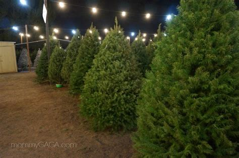 christmas trees at family christmas tree farm san diego
