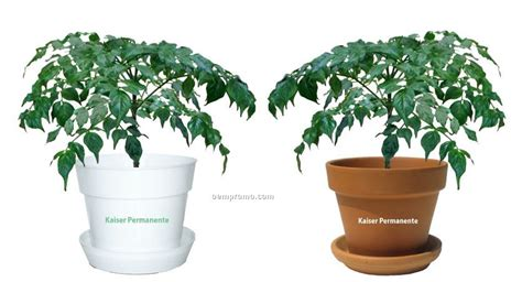 china doll indoor plant tropical plant china doll in pot china wholesale