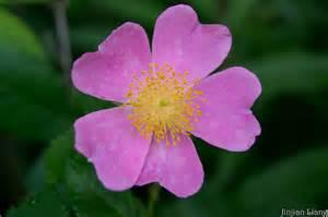 iowa state flower wild rose