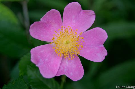 state flower of iowa iowa state flower wild rose