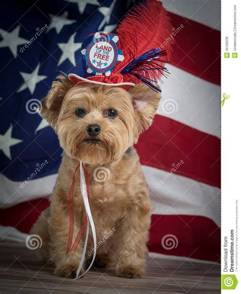 yorkie memorial patriotic yorkie with hat and flag background white and blue stock photo