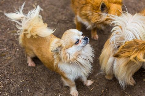 Tiny Apartment Living 6 toy dog breeds that make great pets small fluffy dog