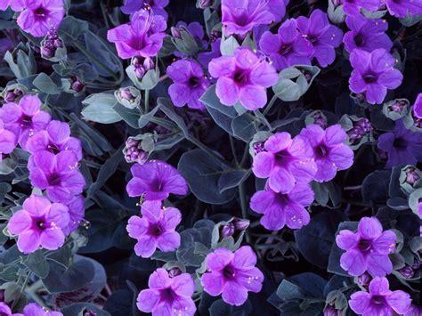 Flowers Violet violets