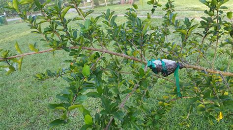 Barbados Cherry barbados cherry tree food forest permaculture moneyrhythm