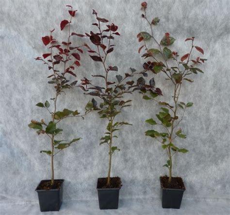 fertigvorhänge kaufen blutbuche kaufen blutbuche fagus sylvatica purpurea g