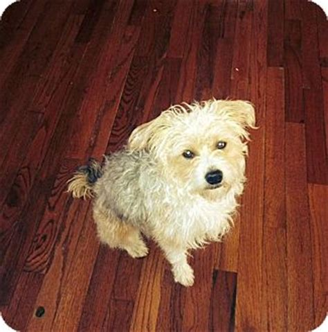 yorkie poodle mix for adoption opie adopted columbus oh yorkie terrier poodle miniature mix