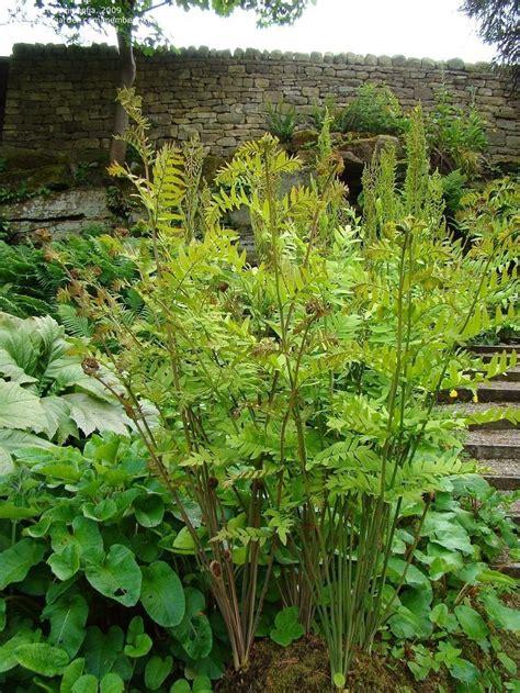 bide a wee cottage gardens plantfiles pictures flowering fern royal fern