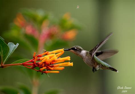 favorite hummingbird plants native nurseries