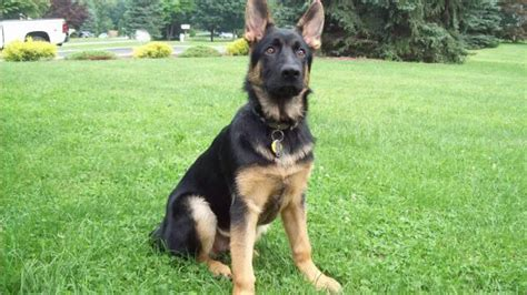 german shepherd puppy weight 4 month german shepherd puppy weight 1001doggy