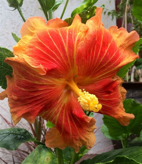 hawaiian yellow hibiscus orange yellow hibiscus orange hibiscus bloom hawaii nature photographs in maui
