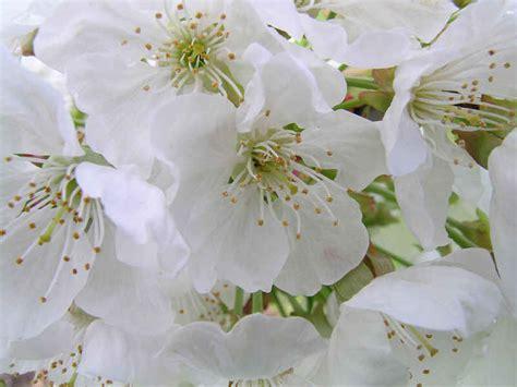 nome fiori bianchi fiori bianchi nomi idea creativa della casa e dell