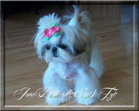 imperial shih tzu puppies michigan iron butterfly imperial shih tzu tiny teacup puppies for sale quality small