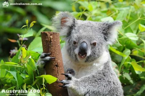 8 Animals From Australia Id To See by Australia Zoo About Us Zoo News Want To Experience