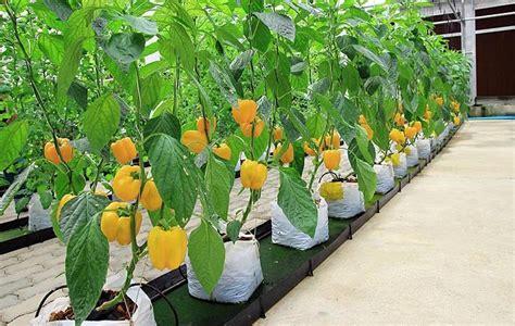 Bibit Buah Tin Tangerang nej芻ast茆j蝪 237 paprikov 233 otazn 237 ky zahradacentrum
