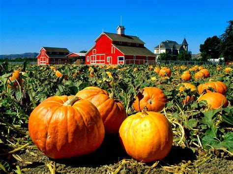 pumpkins pictures how to cure and store pumpkins the garden of eaden