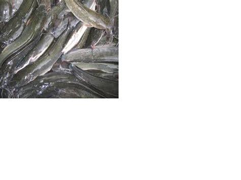 berternak ikan lele dumbo rtn zona info terkini cara mulai ternak lele