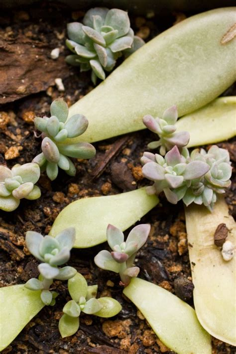 How To Grow Succulents From Leaf Cuttings Lil Blue Boo - succulent leaf cuttings update cassidy tuttle photography