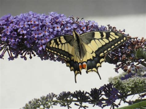Butterfly Ceko Chrystal Black 17 best images about butterflies swallowtail papilio machaon on the