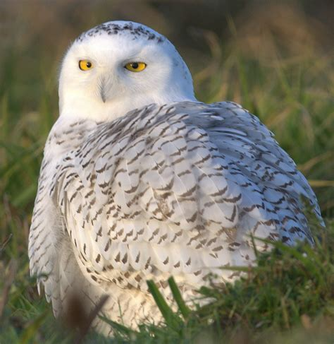 clearlyconfused snowy owl irruption at thanksgiving
