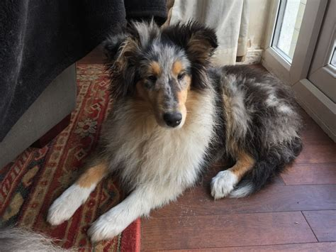 blue merle puppies for sale blue merle collie puppy for sale alderley