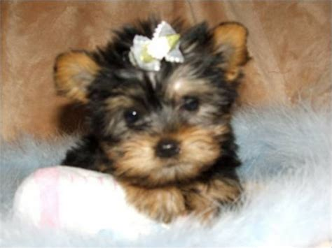 adoption for yorkies micro pocket teacup yorkie for adoption offer