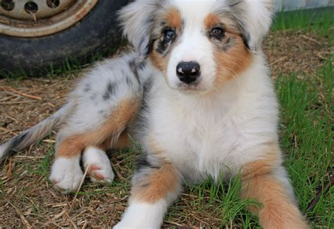 golden retriever puppies lubbock australian shepherd dogs 101 australian shepherd puppy australian breeds picture