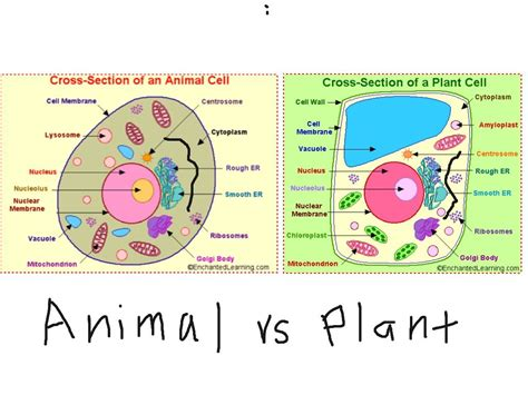 plant and animal cell diagram plant and animal cells not labeled search 6th