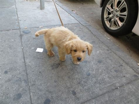 golden retriever mixed with terrier of the day golden retriever mix puppy the dogs of san francisco