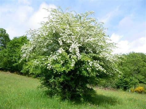 fiori di biancospino biancospino alberi da giardino coltivazione